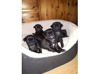 Amazing kc reg black pug puppies