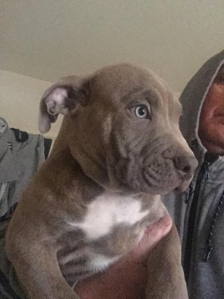 American Bully Pups ABKC 10 weeks | in New Malden, London | Gumtree