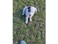 Bearded collie puppies 2 left