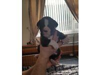 Olde english bulldog puppy
