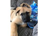 German Shepherd x Akita Puppy