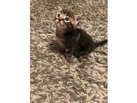 Stunning kittens 3 tabby markings & 1 black with white