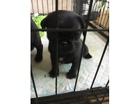 2 gorgeous pug puppies for sale £700