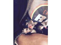 Labrador cross Collie Puppies