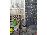 Mulberry tree with pot