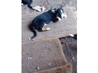 Isds collie pups for sale