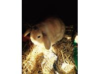 A male and female bonded pair of mini lop rabbits