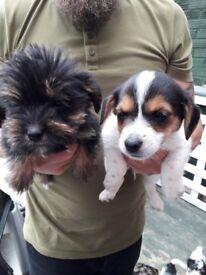 Jack Russell Border Terrier Puppys