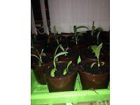 Echinops Ritro Blue
