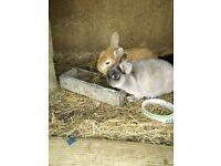 Pair of Netherland dwarf rabbits