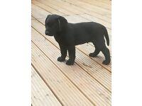Black Labrador girl ready