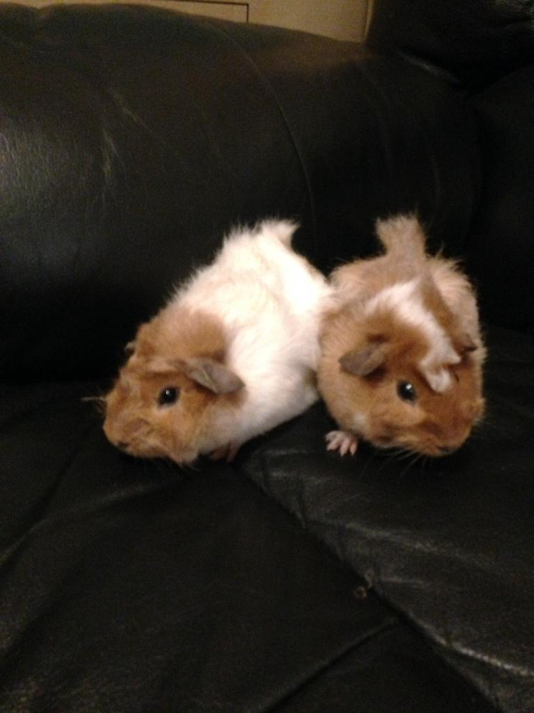 Baby Abyssinian guinea pigs for sale | in Westcliff-on-Sea, Essex ...