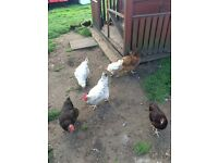 chickens - hens