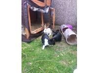 3 beautiful dutch cross baby rabbits for sale