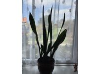 Sansevieria Plant 'Mother-in-Laws tongue'