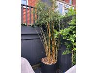 Large Bamboo Plant