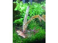 Red Cherry Shrimp for tropical fish tank