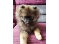 Kc registered pomeranian puppy black&tan
