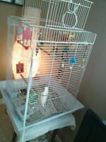 Two Male Budgies with Large Cage