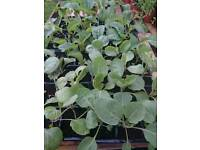 Cabbage cauliflower and sweet pea plants
