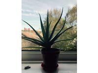 Aloe plant 30 cm or bigger