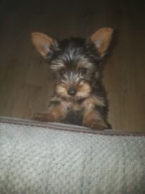 Yorkshire terrier for sale 5 months old