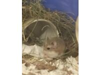 Male Roborovski Hamster with Cage & Accessories