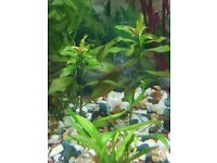 Ludwigia repens red aquarium plant