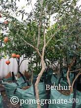 Fruit Trees for Sale Atwell Cockburn Area Preview