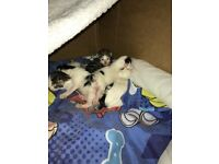 Tabby x kittens for sale