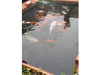 Large Pond Koi Carp x 2 plus other fish. No tank as outdoor fish