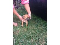 Chihuahua cross patterdale pup for sale