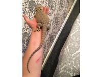 7 month old bearded dragon
