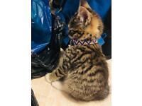 Stunning kitten for sale