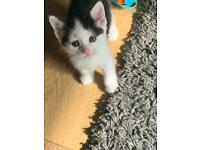 Beautiful female kitten x2
