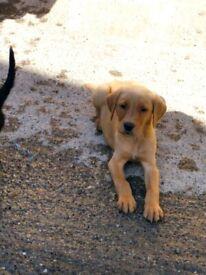 Stunning kc registered Labrador puppies