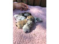 Lion lop baby rabbits
