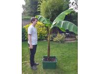 Banana Plant - Musa Basjoo - last one ! 6ft tall