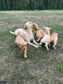Red/yellow labrador puppies