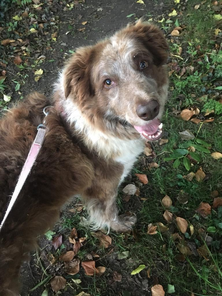 Border collie needs a forever home