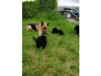 German shepherd crossbreed pups