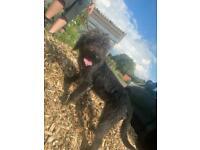 Poodle Bedlington