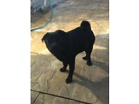 Pugs For Sale Adults Fawn with black masks & Blacks available £800 each