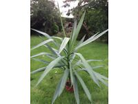 Indoor House/Office Yucca Elephantipes Plant Appx 100cm