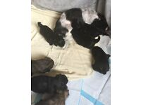 Full shih tzu puppies