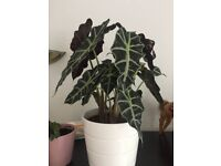 Alocasia Amazonica - stunning indoor plant