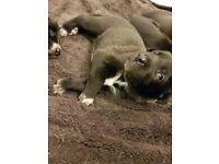 Beautifull Border Collie Pups