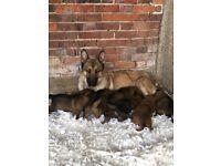 Stunning German Shepard puppies