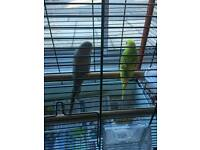 Two budgies about three months old