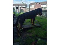 10 month old rottweiler back up
